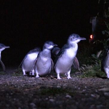 Bicheno's Penguins