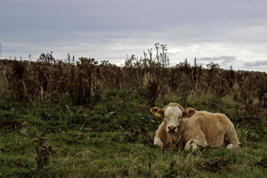 Cows, Fife (Scotland)